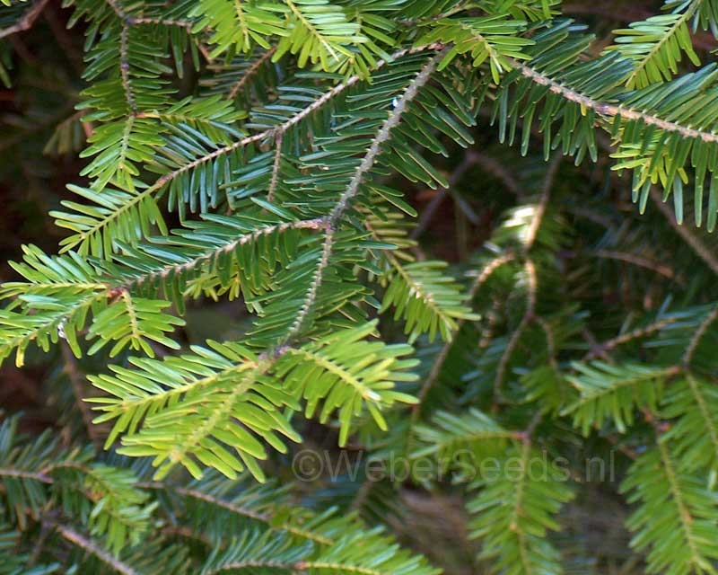 Abies alba, European silver fir