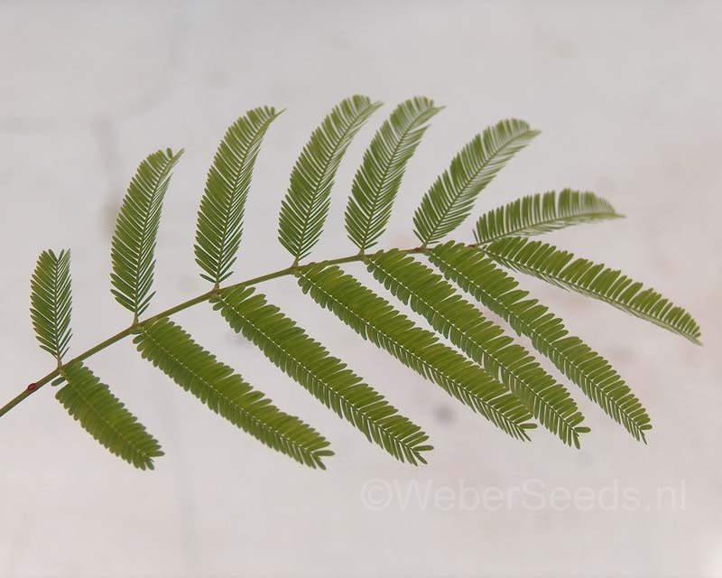 Anadenanthera colubrina, Cebil