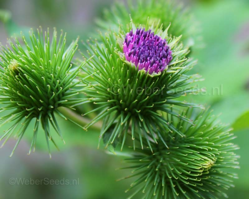 Arctium lappa, Greater burdock