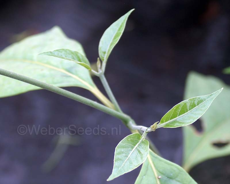 Banisteriopsis caapi, Yage plant