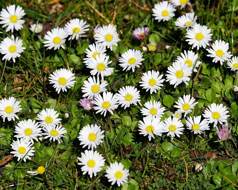 Bellis perennis, Common daisy