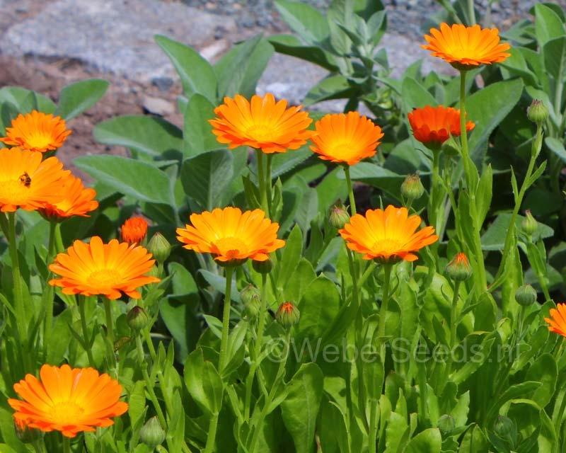 Calendula officinalis, Pot marigold