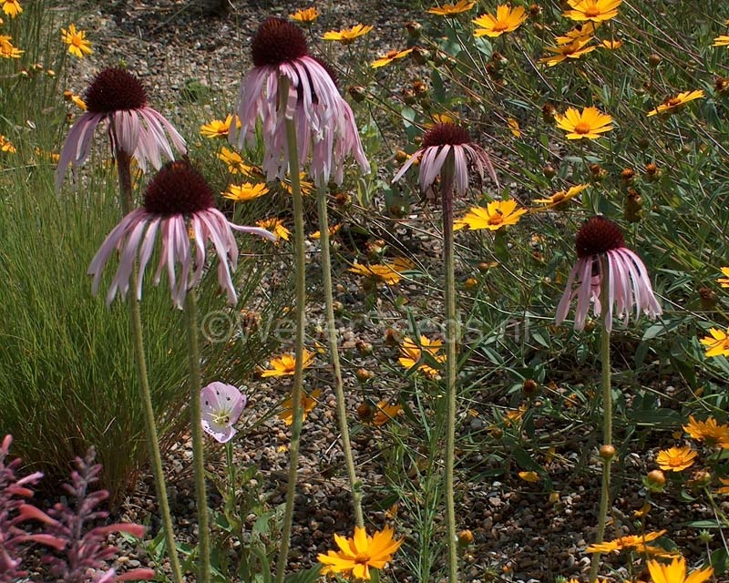 Echinacea angustifolia, Narrow-leaved purple coneflower