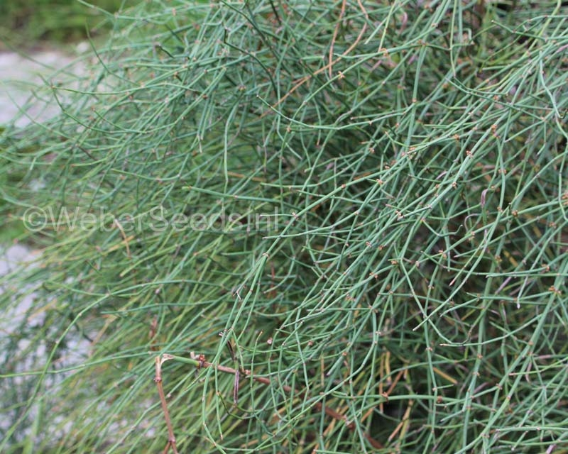 Ephedra nevadensis, Mormon tea