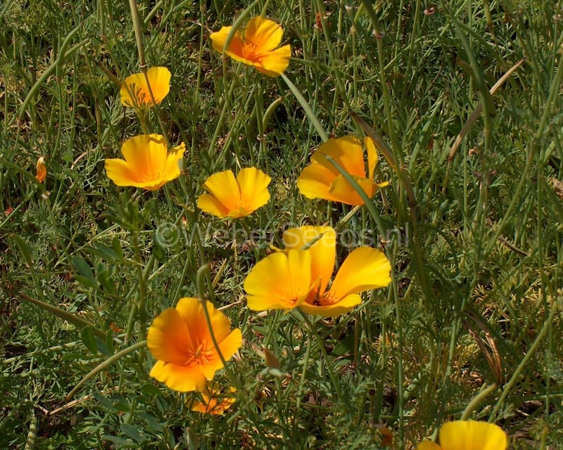 Eschscholzia californica, Goldmohn