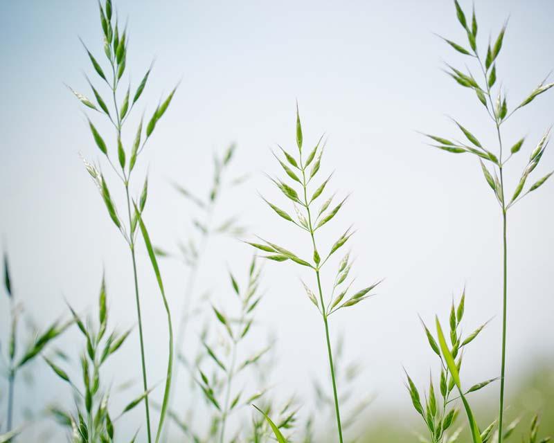 Festuca pratensis, Meadow fescue