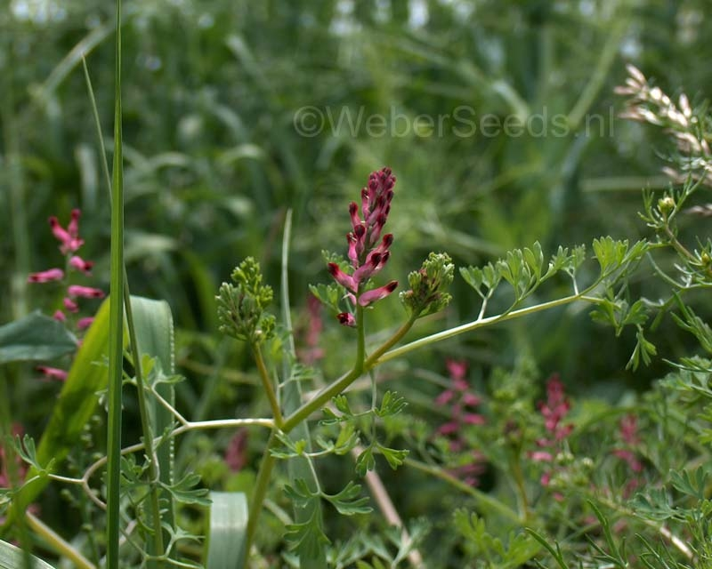 Fumaria officinalis, Common fumitory