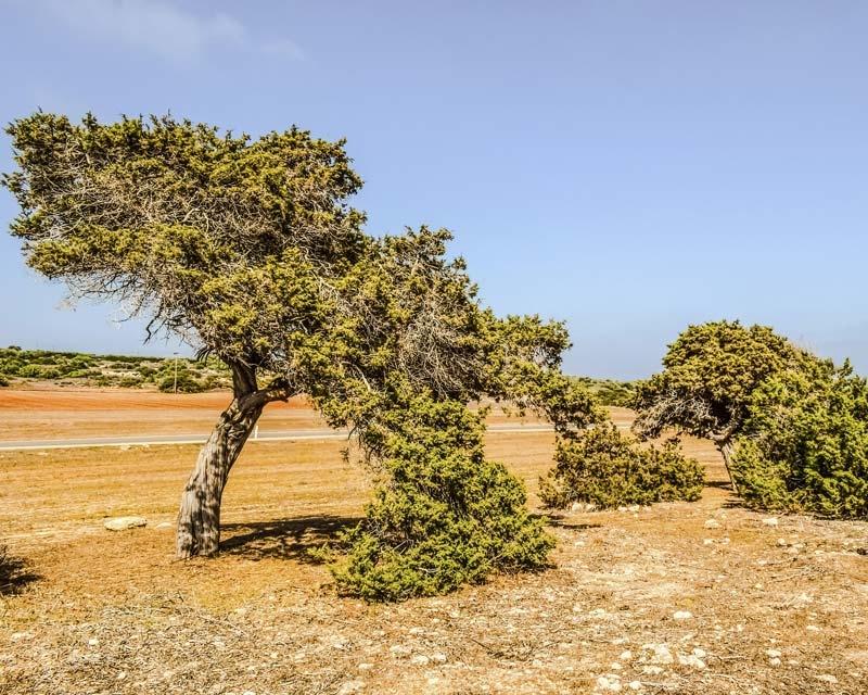 Juniperus phoenicea, Phoenicean juniper