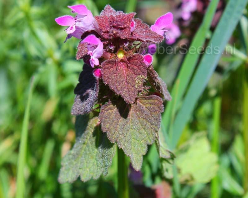 Lamium purpureum, Purpurrote Taubnessel