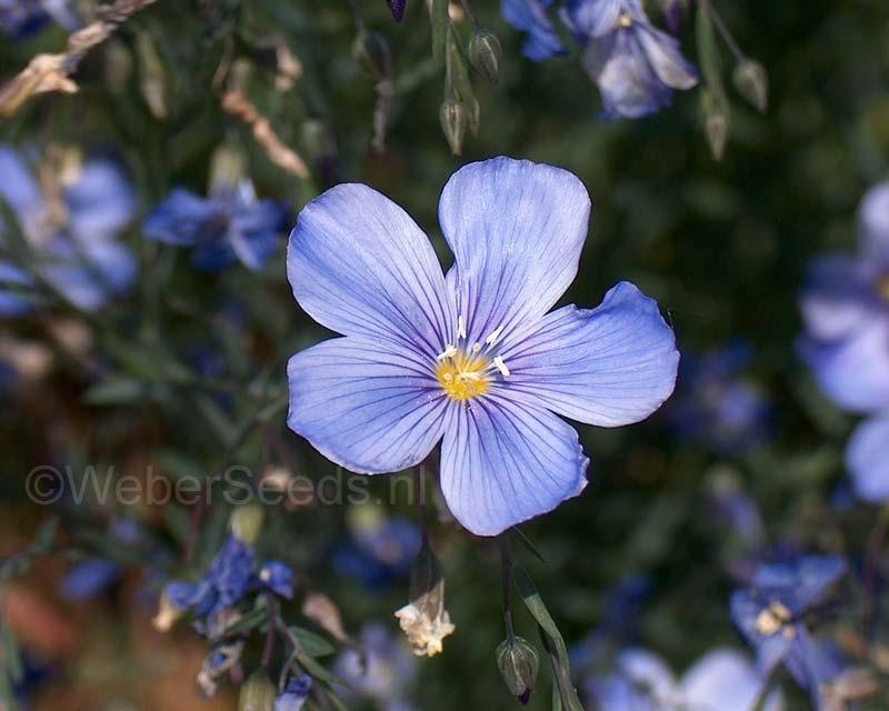 Linum perenne, Perennial flax