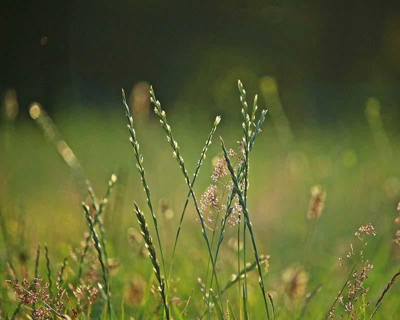 Lolium perenne, Perennial ryegrass