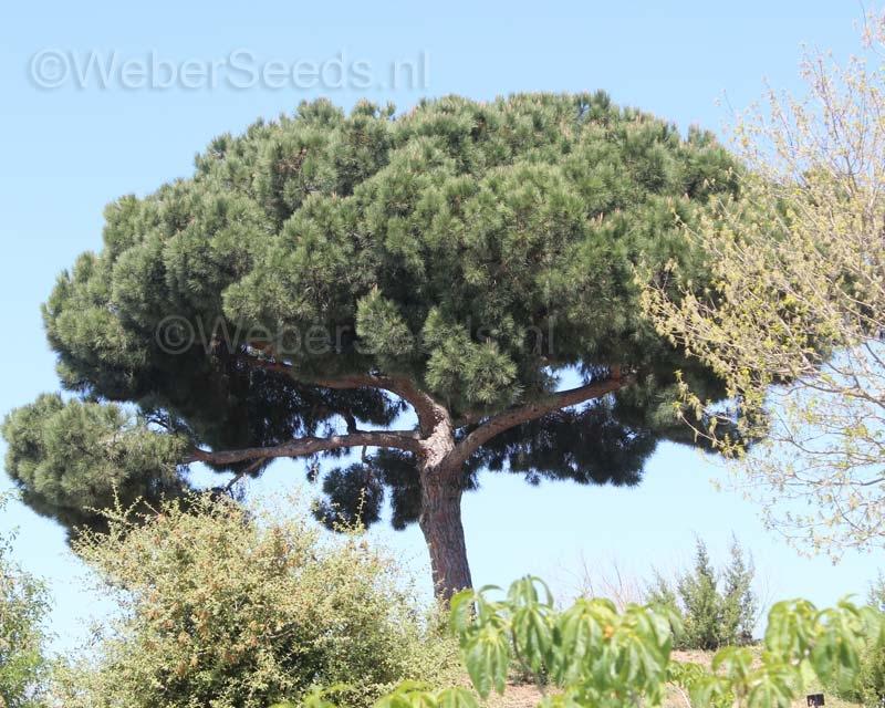 Pinus pinea, Stone pine