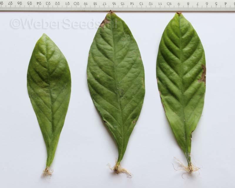 Psychotria viridis, Chacruna, fresh leaves