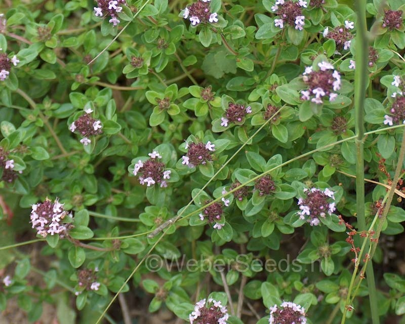 Thymus pulegioides, Broad-leaved thyme