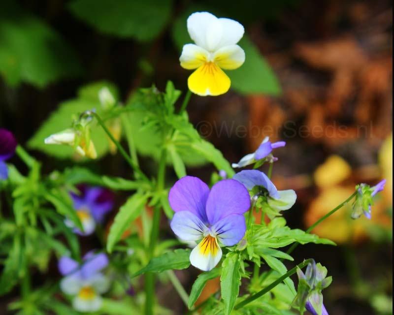 Viola tricolor, Heartsease