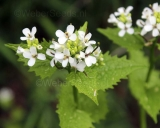 Alliaria petiolata, Garlic mustard