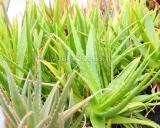 Aloe barbadensis, Aloe vera