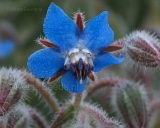 Borago officinalis, Borage