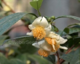 Camellia sinensis, Theeplant