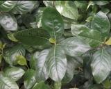 Catha edulis, Khat plant