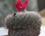 Epithelantha micromeris, Chilito Cactus