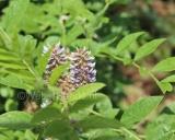 Glycyrrhiza glabra, Liquorice
