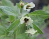 Hyoscyamus albus, White Henbane