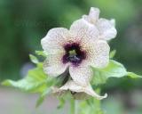 Hyoscyamus niger, Black Henbane