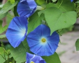 Ipomoea tricolor Heavenly Blue