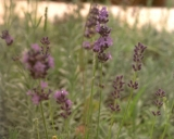 Lavandula latifolia, Broadleaved lavender