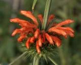 Leonotis nepetifolia, Klip dagga