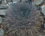 Mammillaria heyderi, Pancake cactus