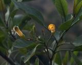 Nicotiana glauca, Tree tobacco