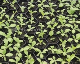Nicotiana tabacum, Tobacco
