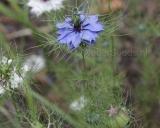 Nigella sativa, Black caraway