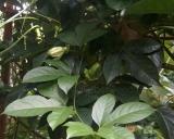 Passiflora edulis, Passion Fruit