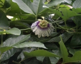 Passiflora edulis, Passion Fruit