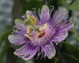 Passiflora incarnata, Wilde Passiebloem
