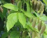 Paullinia cupana var. sorbilis, Guarana Pflanze