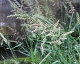 Phalaris arundinacea, Reed canary grass