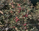 Pistacia lentiscus, Mastiekboom
