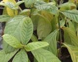Psychotria viridis, Chacruna