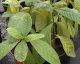 Psychotria viridis, Chacruna plant