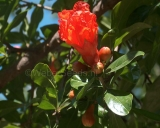 Punica granatum, Pomegranate