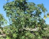 Ricinus communis, Castor bean