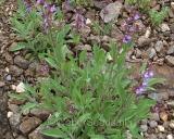 Salvia verbenaca, Wild Clary