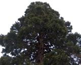 Sequoiadendron giganteum, Giant sequoia