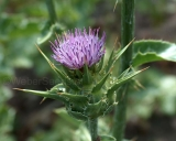 Silybum marianum, Milk thistle