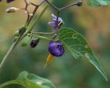 Solanum dulcamara, Bittersweet