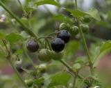 Solanum nigrum, Black Nightshade